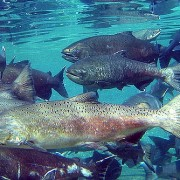 Camas Creek Chinook Salmon protect environmental law Advocates for the West