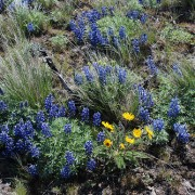 Wildflower display4316800859 a71fe322b0 protect environmental law Advocates for the West
