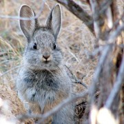 pygmy rabbit protect environmental law Advocates for the West