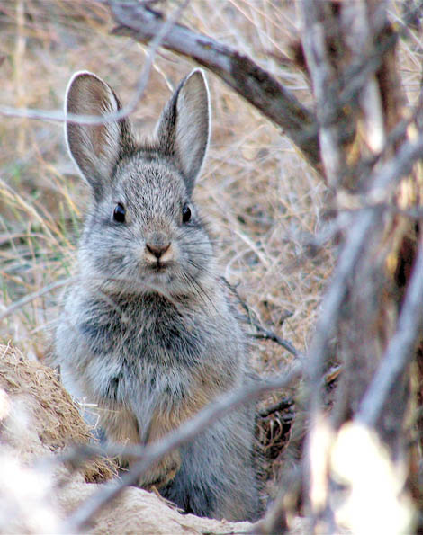 pygmy rabbit protect