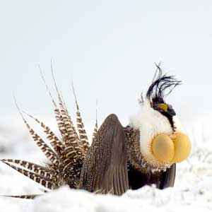 What is a sage grouse and why is the bird imperiled? | Montana ...
