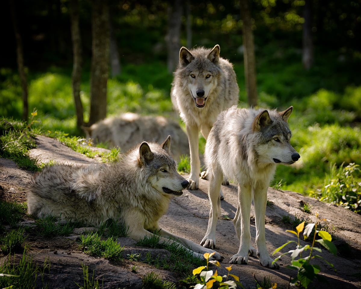 Timber Wolves - Derek R Audette