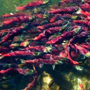 Sockeye Salmon - Feng Yu - small